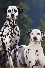 Preview iPhone wallpaper Two dalmatian dog