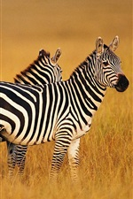 Preview iPhone wallpaper Two zebras in summer grasslands