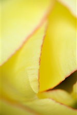 Preview iPhone wallpaper Yellow tulip flower macro photography