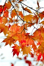 Autumn branch red maple leaves