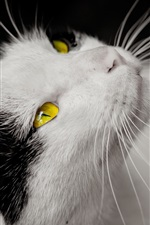 Preview iPhone wallpaper Cat, white and black, yellow eyes