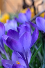 Preview iPhone wallpaper Crocuses, blue flowers, grass, spring, blurred