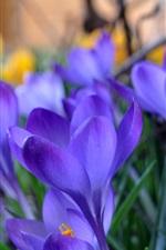 Açafrão, flores azuis, grama, primavera, turva