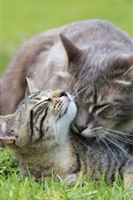 Preview iPhone wallpaper Gray cat care kitten at grass