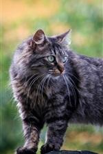 Gray cat, fluffy, look back