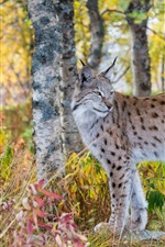 Preview iPhone wallpaper Lynx in the autumn forest