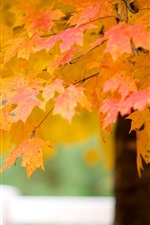 Preview iPhone wallpaper Maple tree leaves, autumn