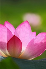 Preview iPhone wallpaper Pink lotus flower, green leaves, blur background