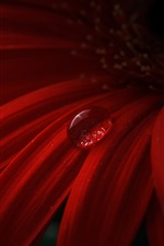 Preview iPhone wallpaper Red gerbera, petals, water drops