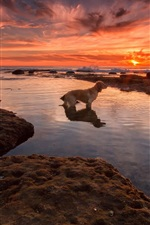 Red sky, sea, beach, sunset, dog