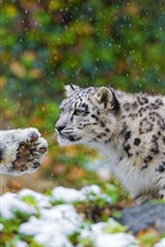 Preview iPhone wallpaper Snow leopard, a family