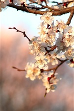 Preview iPhone wallpaper Spring flower blossom, cherry flowers