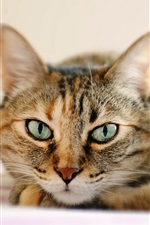 Preview iPhone wallpaper Tabby cat, lying, face close-up