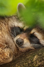 Preview iPhone wallpaper Tree, green leaves, raccoon falling asleep