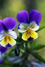 Preview iPhone wallpaper Two pansies flowers, green background