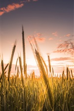 Preview iPhone wallpaper Wheat field, sky, clouds, sunset