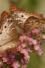 Branco Borboleta-pavão, flores, inseto close-up