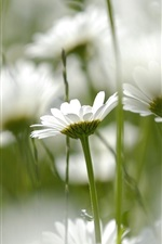 Preview iPhone wallpaper White daisies flowers, soft focus