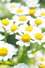 Preview iPhone wallpaper White daisies flowers, yellow