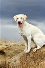 Preview iPhone wallpaper White dog, look, nature, cloudy