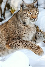 Preview iPhone wallpaper Wild cat, snow, winter