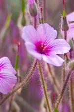 Wild flowers, pink petals, buds