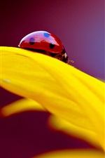 Preview iPhone wallpaper Yellow flower petal, insect ladybug