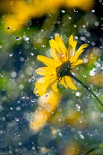 Preview iPhone wallpaper Yellow flowers, raindrops, glare