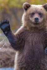 Preview iPhone wallpaper Alaska grizzly bear, say hi