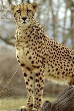 Preview iPhone wallpaper Animal photography, cheetah, predator