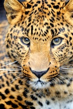 Preview iPhone wallpaper Animal predator, leopard, eyes, face