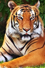 Animals, tiger, tree, leaves, grass, green