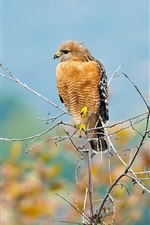 Preview iPhone wallpaper Bird, predator, hawk, twigs
