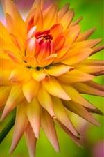 Preview iPhone wallpaper Flower, yellow-orange dahlia, dewdrop
