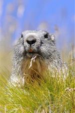 Preview iPhone wallpaper Grass, rodent marmot, summer