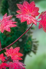 Red leaves, autumn, blur background