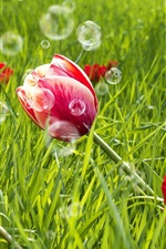 Preview iPhone wallpaper Red tulip flowers, green grass