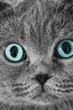 Preview iPhone wallpaper Scottish Fold cat, eyes, face