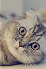 Preview iPhone wallpaper Scottish Fold cat