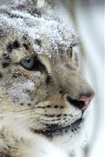 Preview iPhone wallpaper Snow leopard, face, eye, predator, snow