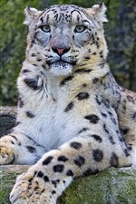 Preview iPhone wallpaper Snow leopard on the stone