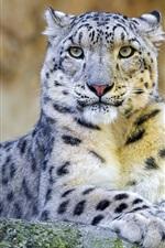 Preview iPhone wallpaper Snow leopard, predator, rock
