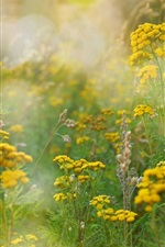 Summer fields, grass, yellow flowers, glare