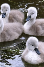 Preview iPhone wallpaper Swan baby in the water