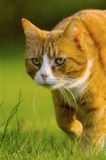 Preview iPhone wallpaper Yellow cat preying, green grass