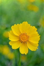 Preview iPhone wallpaper Yellow kosmeya flowers, blur background