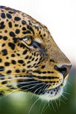 Preview iPhone wallpaper Animal, leopard, face, eyes, predator