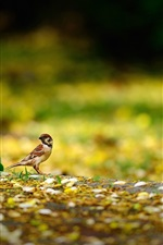 Preview iPhone wallpaper Bird, sparrow, ground, yellow
