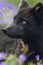 Black Arctic fox, plants, flowers, grass