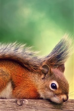 Preview iPhone wallpaper Canada, autumn, red squirrel rest